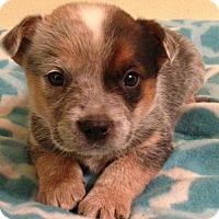 Adopt A Pet :: Atlas - Trenton, NJ
