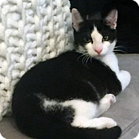 Adopt A Pet :: Peter The Tuxedo Kitten - Brooklyn, NY