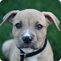 Adopt A Pet :: Boris - Adoption Pending - Danbury, CT