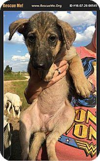 German Shepherd Dog/Siberian Husky Mix Puppy for adoption in Denver, Colorado - Lux