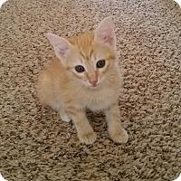 Domestic Shorthair Kitten for adoption in Denver, Colorado - Melody