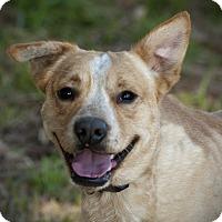 Labrador Retriever Mix Dog for adoption in Brattleboro, Vermont - Gator
