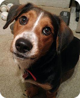 Beagle Mix Dog for adoption in Tampa, Florida - Roy II