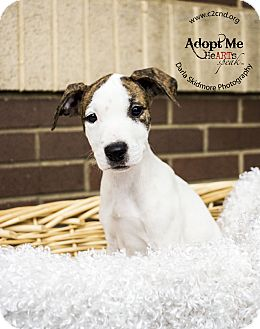 Pit Bull Terrier/Hound (Unknown Type) Mix Puppy for adoption in Mooresville, North Carolina - Clefairy (Pokemon Litter)