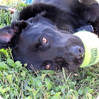 Labrador Retriever Mix Dog for adoption in Grinnell, Iowa - Hero