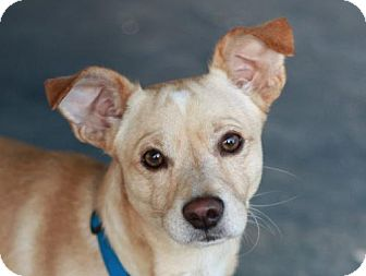 Jack Russell Terrier/Dachshund Mix Dog for adoption in Danbury, Connecticut - Marco