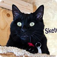 Bombay Cat for adoption in Hamilton, Montana - Sketchie