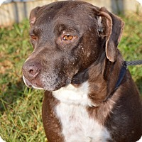 Labrador Retriever Mix Dog for adoption in Springfield, Massachusetts - Red