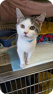 Domestic Shorthair Kitten for adoption in Danville, Indiana - Bob