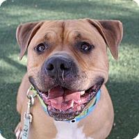 Adopt A Pet :: PIERCE - Las Vegas, NV