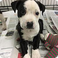 Adopt A Pet :: Spike - Murphysboro, IL