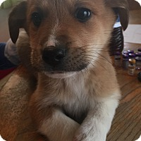Adopt A Pet :: Chase - Lancaster, KY