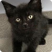Adopt A Pet :: Marbles - Mt. Prospect, IL