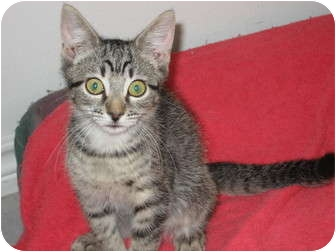American Shorthair Cat for adoption in Huffman, Texas - Megan