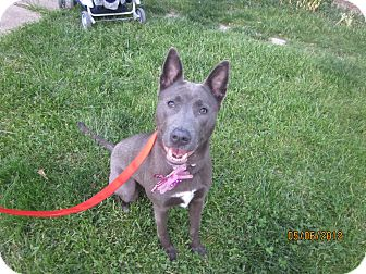 Weimaraner/Husky Mix Dog for adoption in Elyria, Ohio - Jasmine