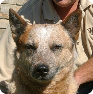 Australian Cattle Dog Mix Dog for adoption in white settlment, Texas - Ranger