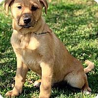 Adopt A Pet :: Asher - Staunton, VA