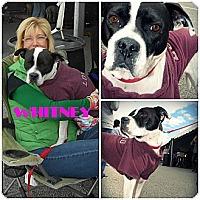 Adopt A Pet :: Whitney - Sylvania, OH