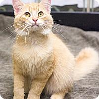 Adopt A Pet :: Mr Muffin - Chicago, IL