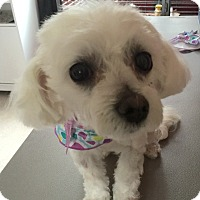 Adopt A Pet :: Pearl - Los Angeles, CA