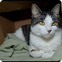 Domestic Shorthair Cat for adoption in Brick, New Jersey - Chester