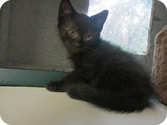 Domestic Shorthair Cat for adoption in Colonial Beach, Virginia - Kitten