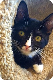 Domestic Shorthair Kitten for adoption in Yucca Valley, California - LUNA