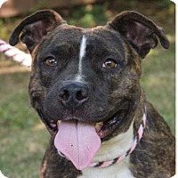 American Pit Bull Terrier Mix Dog for adoption in Red Bluff, California - MARBLE