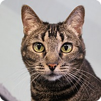 Domestic Shorthair Cat for adoption in Sarasota, Florida - Noche