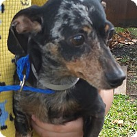 Adopt A Pet :: DANNY - Houston, TX