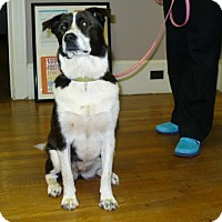 Border Collie/Shiba Inu Mix Dog for adoption in KANNAPOLIS, North Carolina - Maggie
