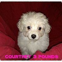 Adopt A Pet :: Courtney - Flossmoor, IL