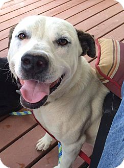 Labrador Retriever Mix Dog for adoption in Manchester, Connecticut - Rugar in CT