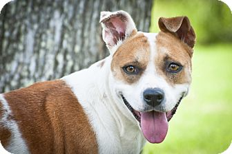 Terrier (Unknown Type, Medium)/Retriever (Unknown Type) Mix Dog for adoption in Houston, Texas - Priscilla