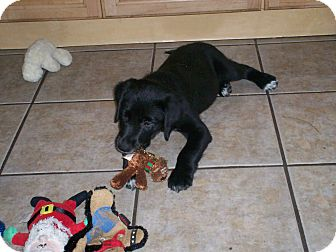 Labrador Retriever Mix Puppy for adoption in Largo, Florida - Teddie