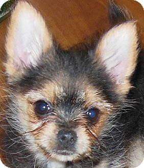 Yorkie, Yorkshire Terrier/Poodle (Miniature) Mix Puppy for adoption in MINNEAPOLIS, Kansas - Badger