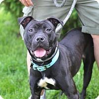 Adopt A Pet :: Kimber - Springfield, IL