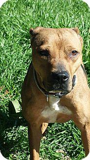 Pit Bull Terrier Mix Dog for adoption in White Settlement, Texas - Sara