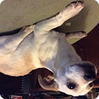 Adopt A Pet :: Charles - S. Pasedena, FL