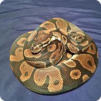 Adopt A Pet :: Marc - a ball python - Bristow, VA