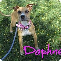 Adopt A Pet :: Daphne - Scottsdale, AZ