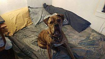 Mastiff/Newfoundland Mix Dog for adoption in Groton, Connecticut - Giovanni