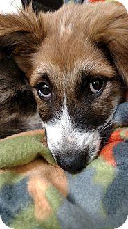 Australian Shepherd/St. Bernard Mix Puppy for adoption in Groton, Massachusetts - Kassie