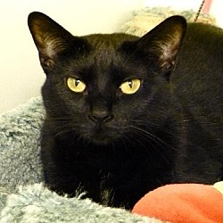 Photo 3 - Domestic Shorthair Cat for adoption in Westville, Indiana - Satina