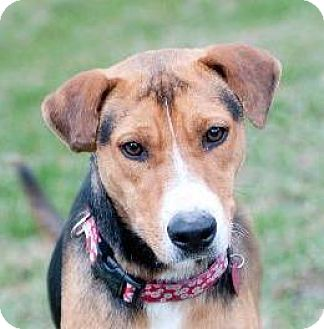 Hound (Unknown Type)/Beagle Mix Dog for adoption in Rockport, Texas - Lexi