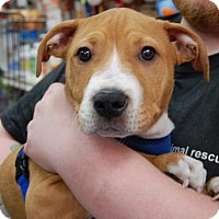 Adopt A Pet :: Gendry - Brooklyn, NY