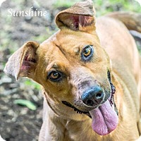 Cattle Dog/Labrador Retriever Mix Dog for adoption in Austin, Texas - Sunshine