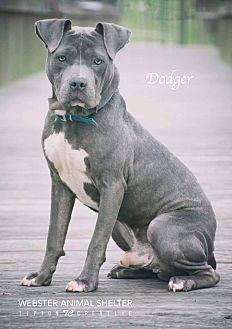 Pit Bull Terrier Mix Dog for adoption in Webster, Texas - Dodger