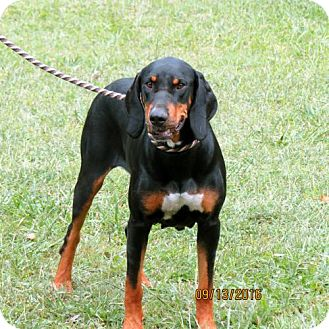 Black and Tan Coonhound Mix Dog for adoption in Portland, Maine - MINT JULEP