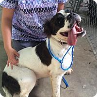 Adopt A Pet :: Koda - Rockville, MD